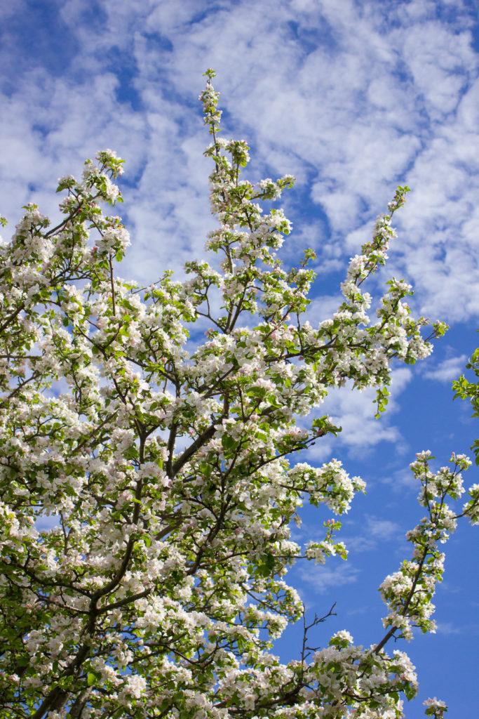 Apple Blossom Sugar Cookies - I Say Nomato