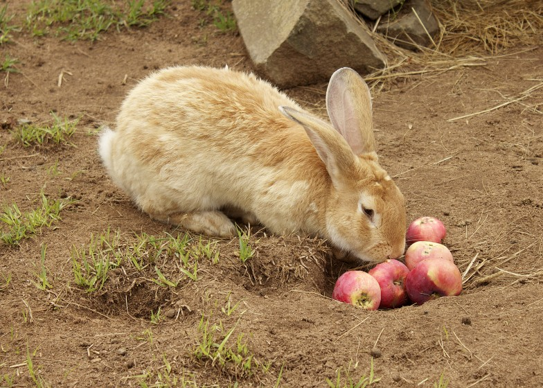 Giant Flemmish Rabbit Oaklawn Farm Zoo Nova Scotia