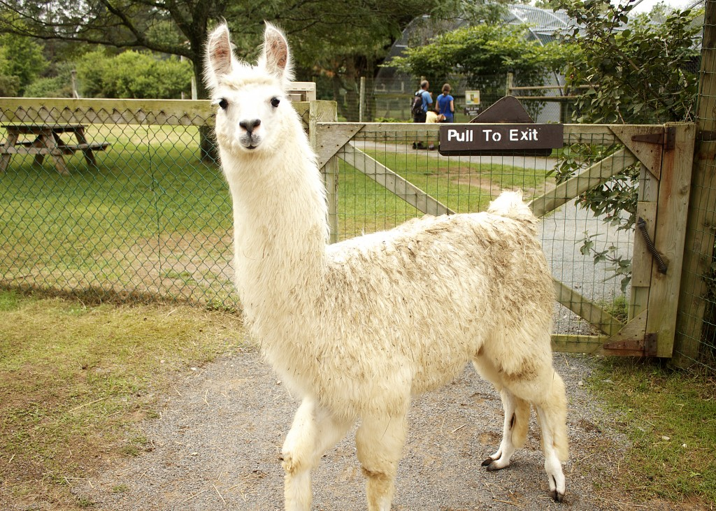 Llama Oaklawn Farm Zoo Nova Scotia