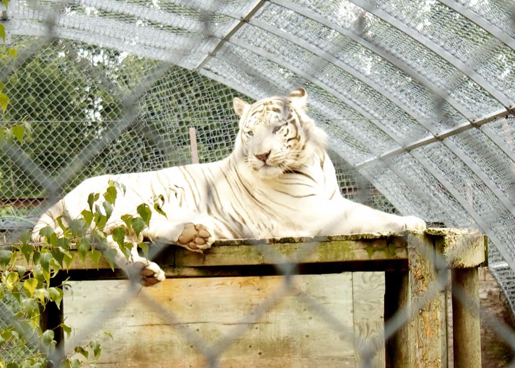 Siberian Tiger Nova Scotia
