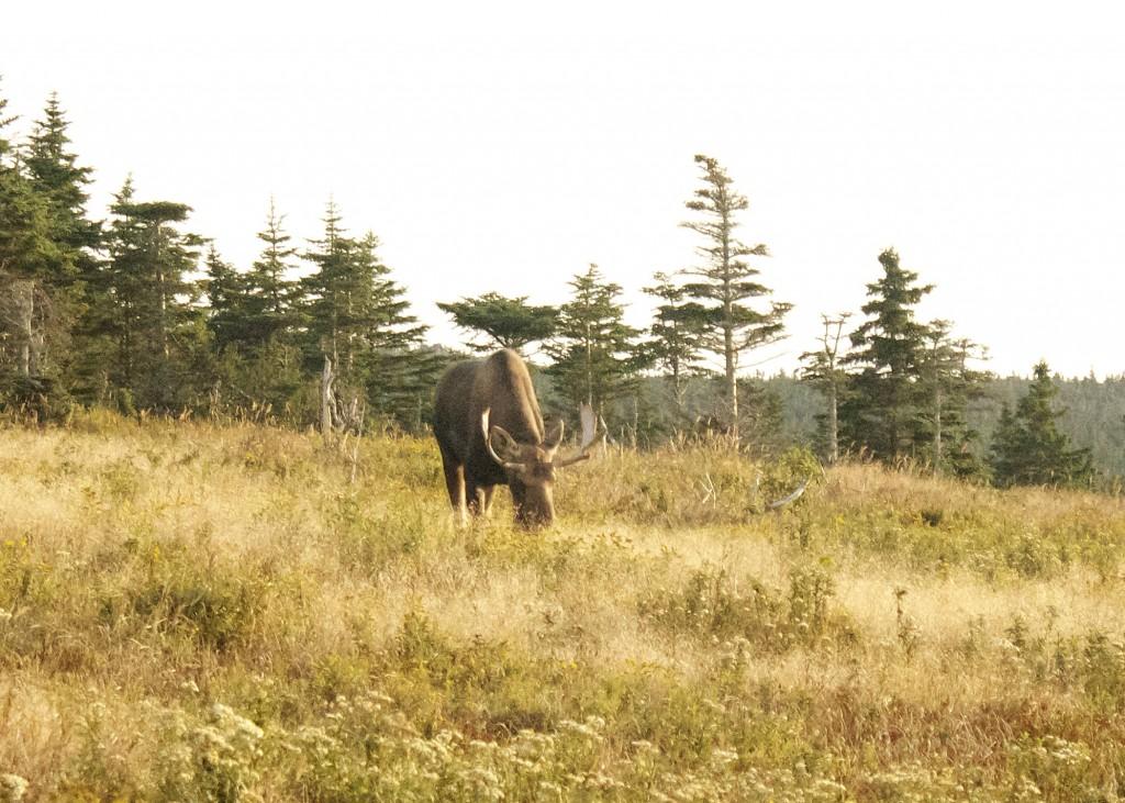 Moose Cabot Trail Highlands Nova Scotia