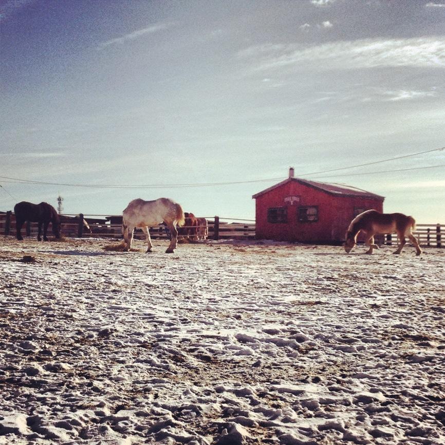 Hatfield Farm Horses in a Field in Winter