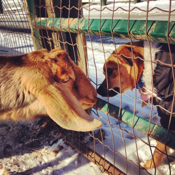 Cute Animals Goat vs Dog