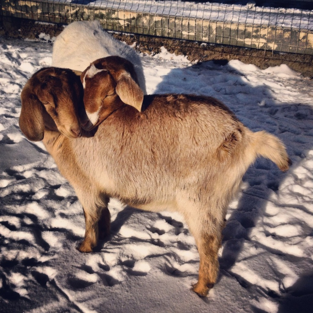 two goats snuggling