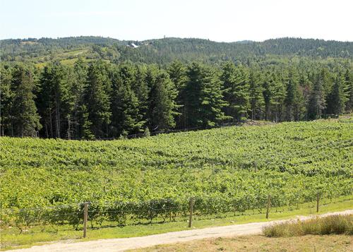 Petite Riviere Vineyard in Summer