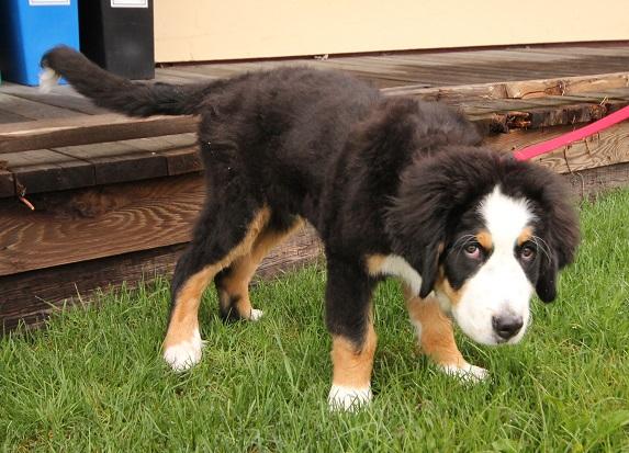 Saint Bernard Puppy Nova Scotia