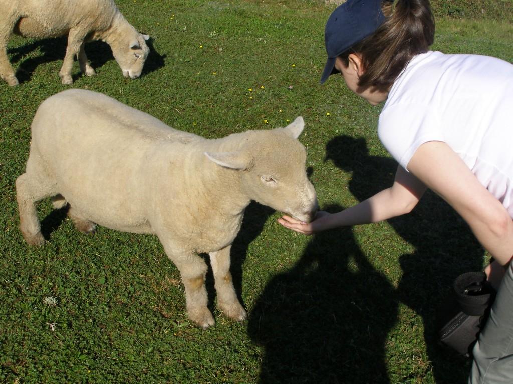 Sheep from High Knoll Farm