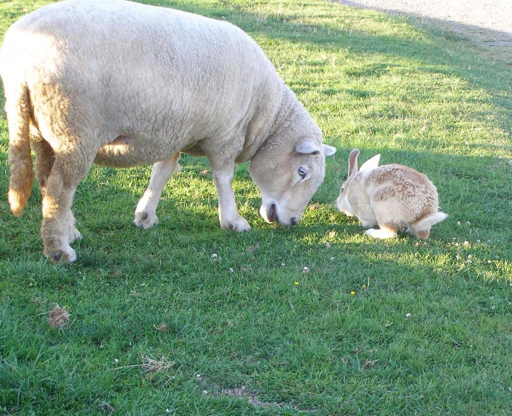 Sheep meets a rabit at High Knoll Farm