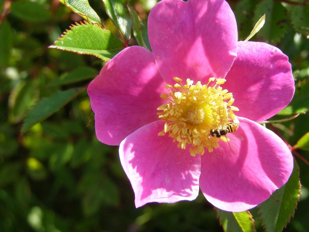 Pink Flower in full bloom