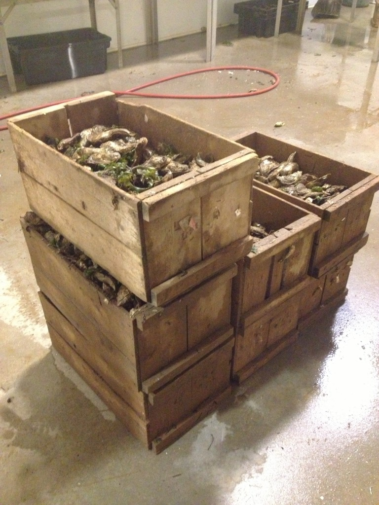A crate of oysters ready to be shipped