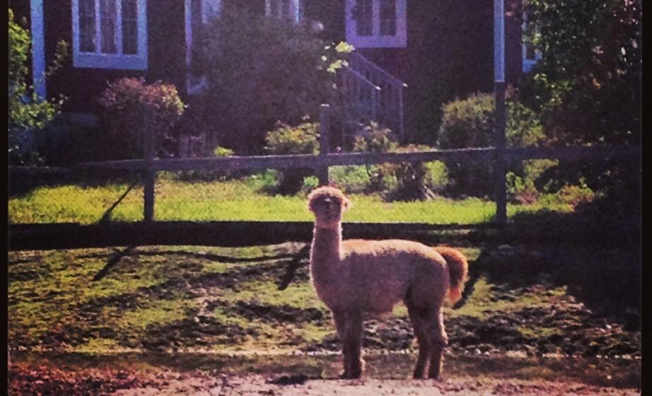 Cute llama in Fredericton petting zoo