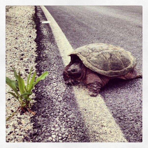 A turtle crosses the road in Liverpool, Nova Scotia