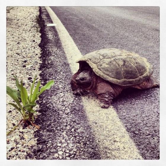 A turtle crosses the road in Liverpool, Nova Scotia