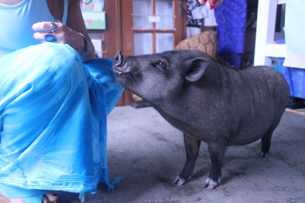 Pot Belly Pig Ruby Tancook